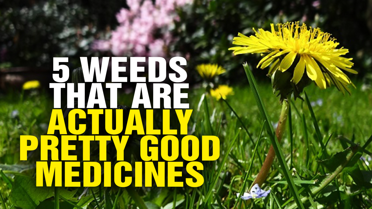 Image: 5 weeds that are actually pretty good medicines (Video)